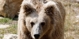 Inwazja niedźwiedzi na rosyjskie wyspy