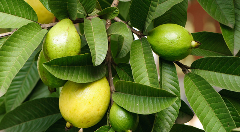 The incredible health benefits of guava leaves
