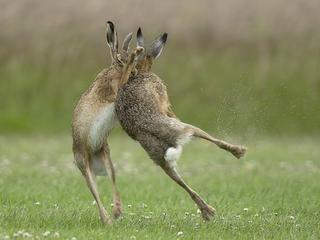 FIGHTING HARES / FIGHTING HARES /1596723