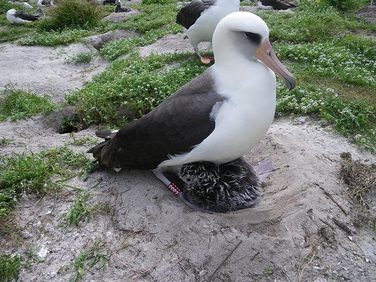311881_albatros-mudrost-wiki