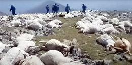Ten widok łamie serce! Ponad 500 martwych owiec na górskim zboczu