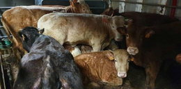 Groza! Tysiące krów od miesięcy uwięzione na statku. Chodzi o groźnego wirusa...