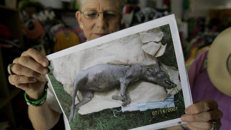 Chupacabra na Białorusi? Tajemnicza bestia atakuje i wysysa krew
