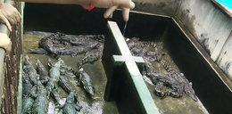 Horror! Dwulatka pożarta przez wygłodniałe krokodyle