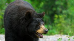 Niedźwiedzie przepowiadają pogodę