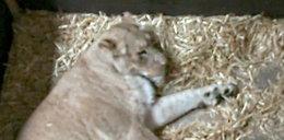 Makabra na wybiegu z lwami. Pracownicy zoo wstrząśnięci