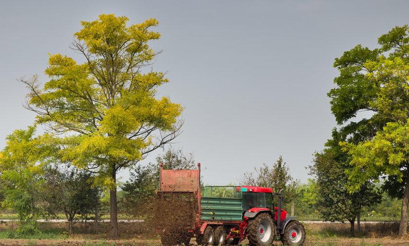rozsypywanie naturalnego obornika na polu