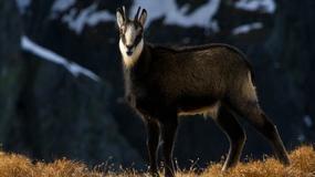 Tatrzański Park Narodowy podsumował wyniki tegorocznego liczenia kozic