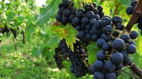 Lubuskie czekanie na wino - winnice w okolicach Zielonej Góry