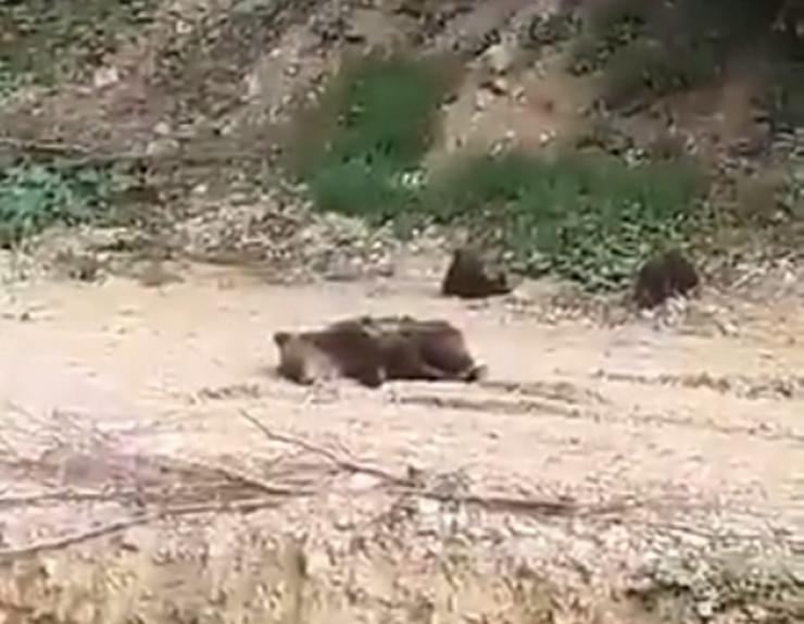 Medvedi kresevo