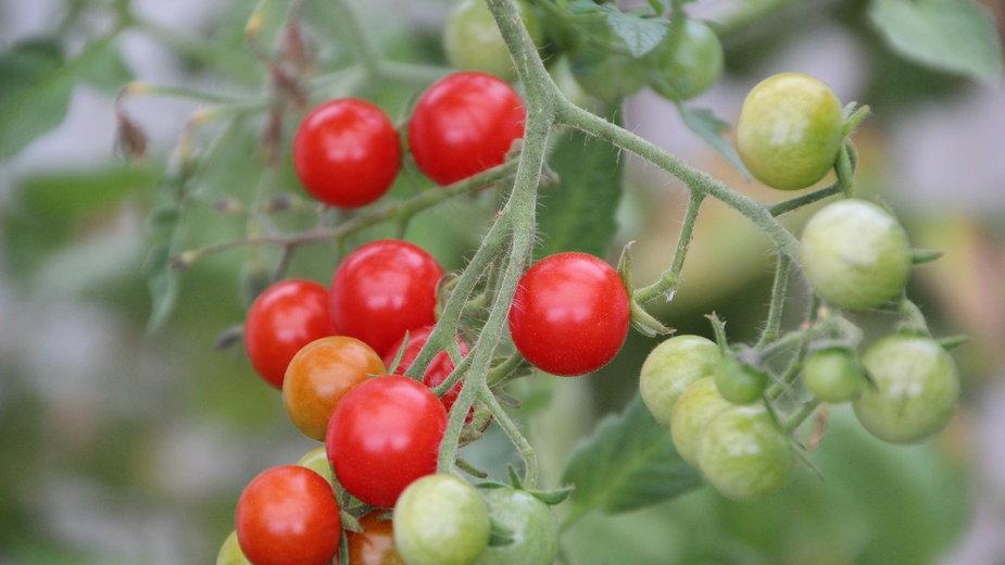 Pomidorki koktajlowe można wykorzystać do przygotowania zapraw - Etienne-F59/pixabay.com
