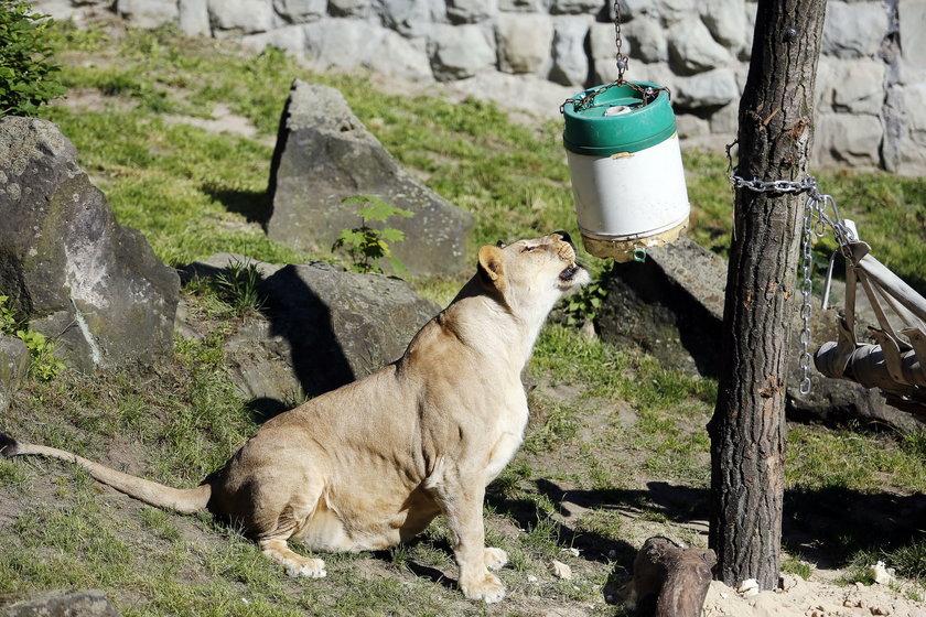 Chorzów. Zbiórka zabawek dla zwierzaków ze Śląskiego ogrodu Zoologicznego