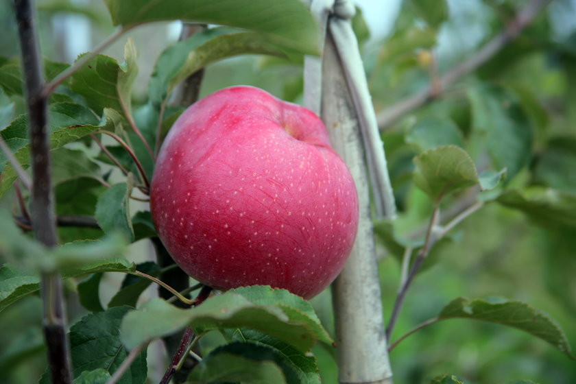 Jak wybrać jabłka