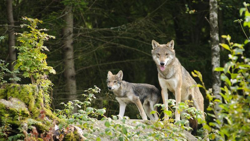 Na Podkarpaciu żyje ponad 400 wilków