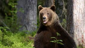 Niedźwiedzie pojawiły się na osiedlach koło Zakopanego