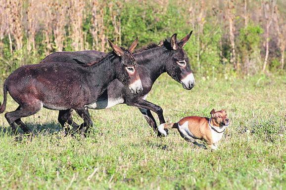 Magarci u Zasavici često se igraju sa psima