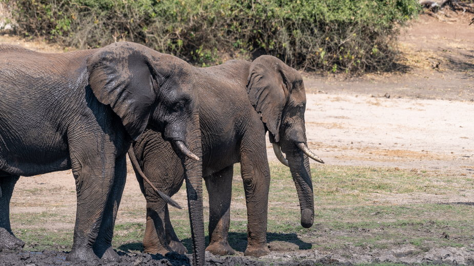 Botswana: zagadka masowej śmierci słoni rozwiązana. Przyczyną były sinice