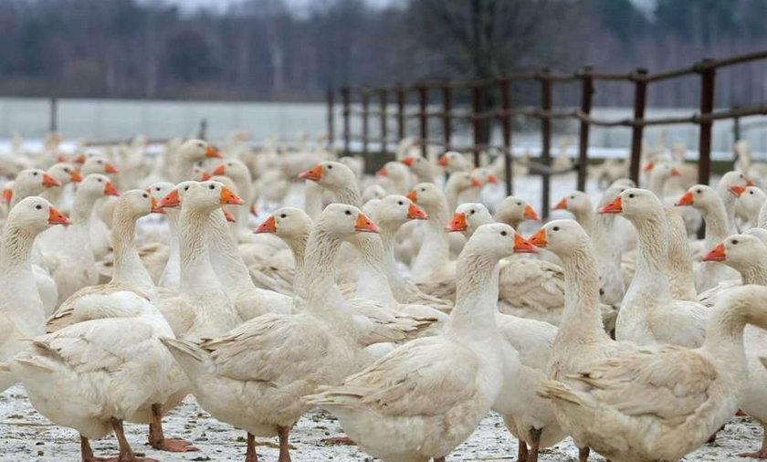 Niemiecki ekolog oskarża: Polacy torturują gęsi!