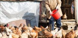 Nie kupisz już kury na targu. Ptasia grypa