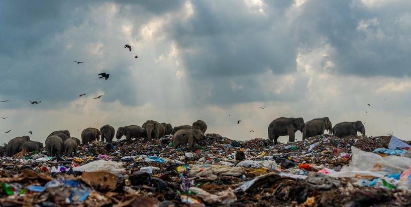 Słonie plądrują wysypiska śmieci. Jedzą odpady, które pochodzą również z Europy