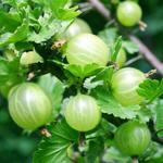 Opinie o Agrest (Ribes) w odmianach C3