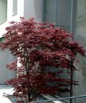 Opinie o Szkółka Ogrodnicza Ognisty Klon Palmowy Purpurowy Duże Sadzonki OGR0000148