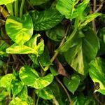 Epipremnum Pinnatum doniczka 21 cm 90-100 cm