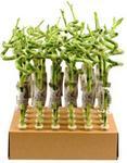 Dracaena Sanderiana Lucky Bamboo