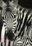 DywanStyl.pl Dywan Flash Modern Zebra czarny 120x170 Prostokąt