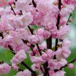 Migdałek pienny (Prunus triloba) 80 / 120 cm C7 5