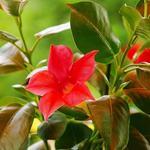 Sundaville - Dipaldenia doniczka 12 cm