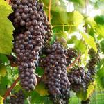 In My Garden Winorośl  Cabernet Sauvignon C2