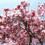 Magnolia (Magnolia) 160-220 cm C20