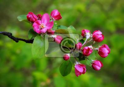 Olga Fototapeta kwiat, pączek, jabłko, gałąź drzewa, czerwony