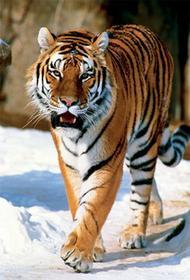 Trefl Tygrys Syberyjski 10135