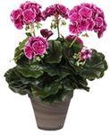 Opinie o MICA Decorations Dekoracje Mica 949891kwiat, geranium, duży, wielokolorowy 949891