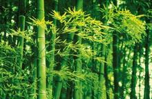Komar Bambusy Wiosną - fototapeta