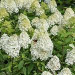 Opinie o Hortensja paniculata C3