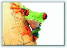 Żabka, zbliżenie - Obraz na płótnie