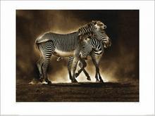 Zebra, Zebry - Obraz, reprodukcja