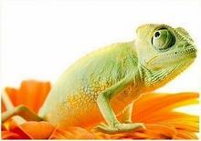 Chameleon on flower. Isolation on white - reprodukcja