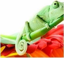 Kameleon - Obraz, reprodukcja