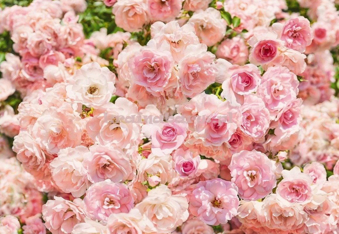 Komar Fototapeta 8-937 Roses