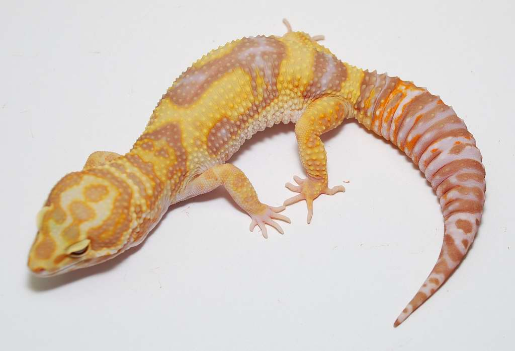jungle+tremper+albino++leopard+gecko.jpg