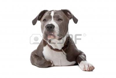 8114006-american-staffordshire-bull-terrier-samodzielnie-na-bia-ym-tle.jpg