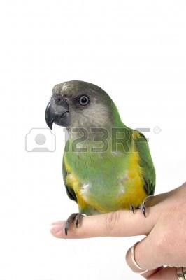3285101-green-parrot-sitting-on-a-human-finger.jpg