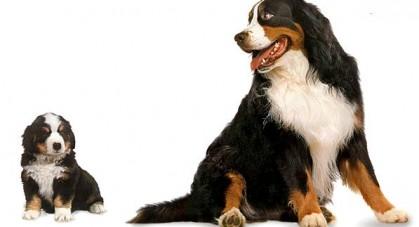 Szczeniak-czy-dorosly-pies--419x227.jpg
