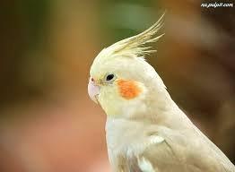 Papugą