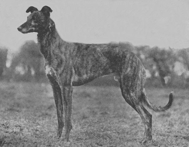 Greyhound_Mah_A_Buacaill-big.jpg