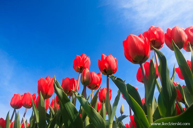 tulipany-pola-08.jpg